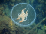 A jellyfish in the Bosphorus Strait