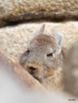 I zoomed in on this chinchilla taking a nap. Pointed him out to some ladies who we ran into again a couple of days later at our hotel in Cusco. It's a small world after all!