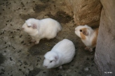 Guinea Pigs--hopefully these our for the tourist's eyes and not their bellies.
