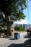 An old tree in Ollantaytambo--road built around it.
